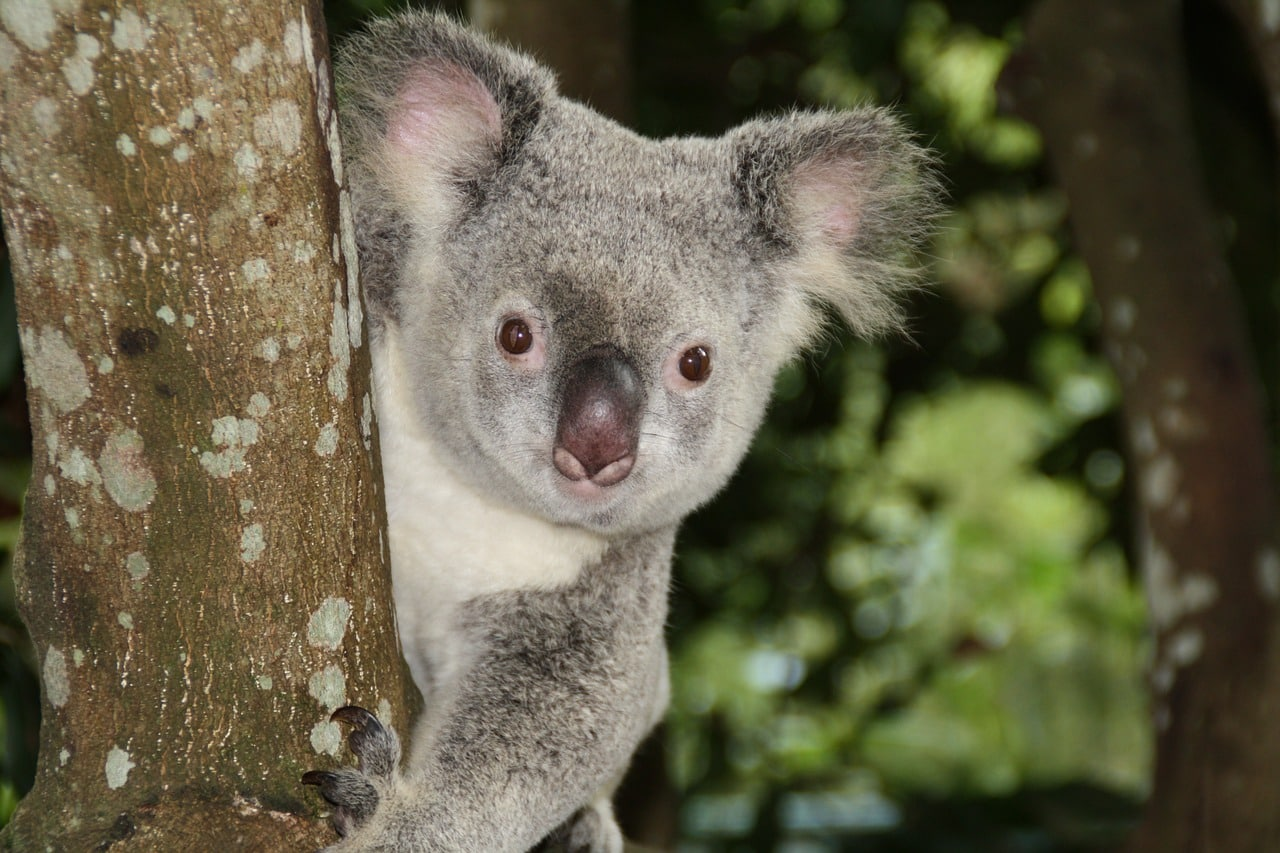 An adorable koala, the kind you'll get to see often after moving to Australia for a job.